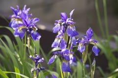 Germanica del iris Fotografía de archivo