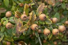 Germanica do Mespilus - nêspera comum imagens de stock royalty free