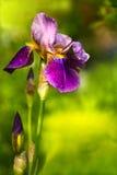 Germanica pourpré d'iris germanique ou d'iris images libres de droits
