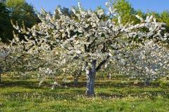 Germany,Bavaria,Blossoming cherry tree Stock Photo