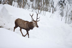 Germany, Bavaria, Deer walking in snow scenery Royalty Free Stock Photography
