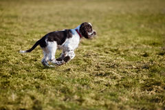 Germany,Bavaria,English Springer Spaniel on grass Royalty Free Stock Images