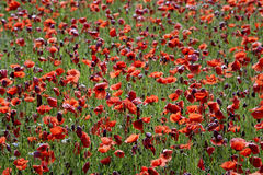 Germany, Bavaria, Neufahrn, Poppy field (Papaver rhoeas) Stock Images