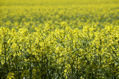 Germany, Bavaria, Rape field (Brassica napus) Stock Images