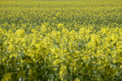 Germany, Bavaria, Rape field (Brassica napus) Royalty Free Stock Photography