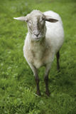 Germany, Bavaria,  Schaeftlarn, View of Domestic sheep standing on grass Royalty Free Stock Photo