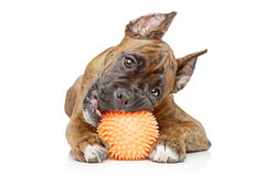 Germany Boxer puppy bites ball Stock Photo
