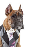 Germany Boxer puppy in tie on a white background Stock Photos