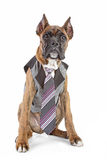 Germany Boxer puppy in tie on a white background Royalty Free Stock Photo