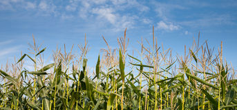 Germany, Corn Field and blue sky Stock Photography