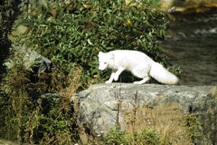 Germany, Gelsenkirchen, Zoom Erlebniswelt, Arctic fox Royalty Free Stock Image