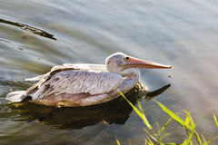 Germany, Gelsenkirchen, Zoom Erlebniswelt, Pelican swimming Royalty Free Stock Image