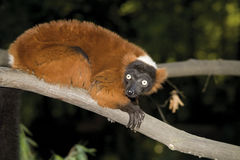 Germany, Gelsenkirchen, Zoom Erlebniswelt, Red ruffed lemur Stock Photos