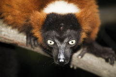 Germany, Gelsenkirchen, Zoom Erlebniswelt, Red ruffed lemur Royalty Free Stock Image