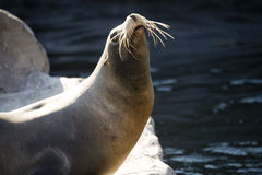Germany, Gelsenkirchen, Zoom Erlebniswelt, Sea Lion Royalty Free Stock Photos