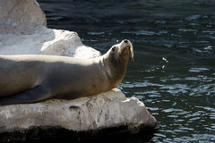 Germany, Gelsenkirchen, Zoom Erlebniswelt, Sea Lion Royalty Free Stock Photography