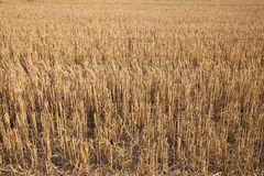 Germany, harvested field Royalty Free Stock Images