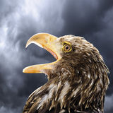 Germany, Hellenthal, Bald Eagle, close-up Royalty Free Stock Images