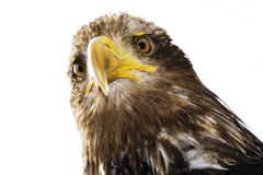 Germany, Hellenthal, Bald Eagle, close-up Royalty Free Stock Image