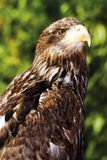 Germany, Hellenthal, Bald Eagle, close-up Royalty Free Stock Photography