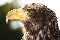 Free Germany, Hellenthal, Bald Eagle, Close-up Royalty Free Stock Photography - 50487607