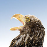 Germany, Hellenthal, Bald Eagle, close-up Stock Photo