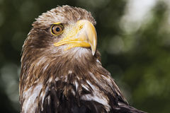 Germany, Hellenthal, Bald Eagle, close-up Stock Photos