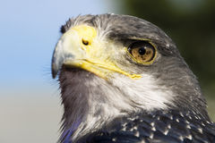 Germany, Hellenthal, Black-chested buzzard eagle Royalty Free Stock Images