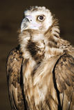 Germany, Hellenthal, Eurasian black vulture Royalty Free Stock Images