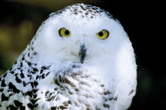 Germany, Hellenthal, Snowy Owl, close-up Stock Photos