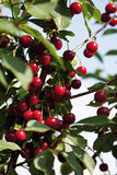 Germany,Hesse,Sour cherries,close up Royalty Free Stock Photography