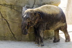 Germany, Köln, Asian Elefant in zoo Stock Images