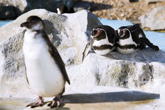 Germany, Köln, Humboldt Penguins in zoo Stock Image