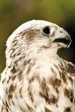 Germany, Köln, Saker Falcon in zoo Stock Image
