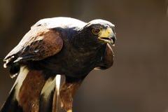 Germany, Köln, Harris Hawk in zoo Stock Photos