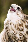 Germany, Köln, Saker Falcon in zoo Royalty Free Stock Images