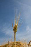 Germany, North Rhine-Westphalia, barley field, spike Royalty Free Stock Images