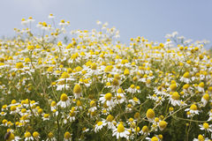 Germany, North Rhine-Westphalia, Chamomile Royalty Free Stock Photo