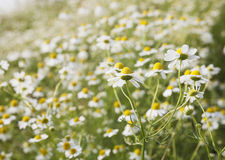 Germany, North Rhine-Westphalia, Chamomile Stock Photo