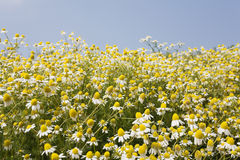 Germany, North Rhine-Westphalia, Chamomile Royalty Free Stock Photography
