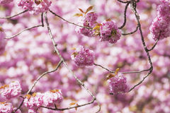 Germany, North Rhine-Westphalia, Cherry blossoms Royalty Free Stock Photos
