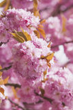Germany, North Rhine-Westphalia, Cherry blossoms Royalty Free Stock Photography