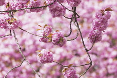 Germany, North Rhine-Westphalia, Cherry blossoms Royalty Free Stock Images