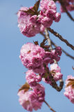 Germany, North Rhine-Westphalia, Cherry blossoms Stock Photo