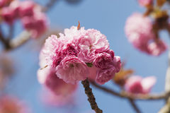 Germany, North Rhine-Westphalia, Cherry blossoms Stock Photos
