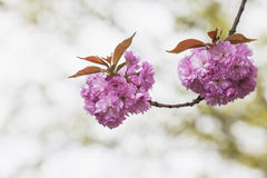 Germany, North Rhine-Westphalia, Cherry blossoms Stock Photography