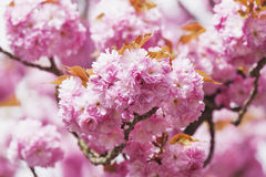 Germany, North Rhine-Westphalia, Cherry blossoms Stock Images