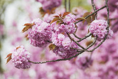 Germany, North Rhine-Westphalia, Cherry blossoms Royalty Free Stock Image