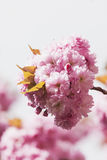 Germany, North Rhine-Westphalia, Cherry blossoms Royalty Free Stock Photo