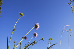 Germany, North Rhine-Westphalia, Grasses and pigeon scabious in summer Royalty Free Stock Photography